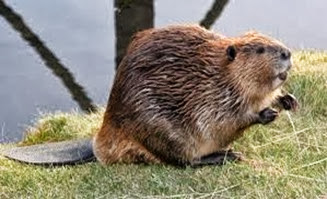 Amazing Pictures of Animals, Photo, Nature, Incredibel, Funny, Zoo, Beaver, Castor, Mammals,  Rodentia, Alex (12)