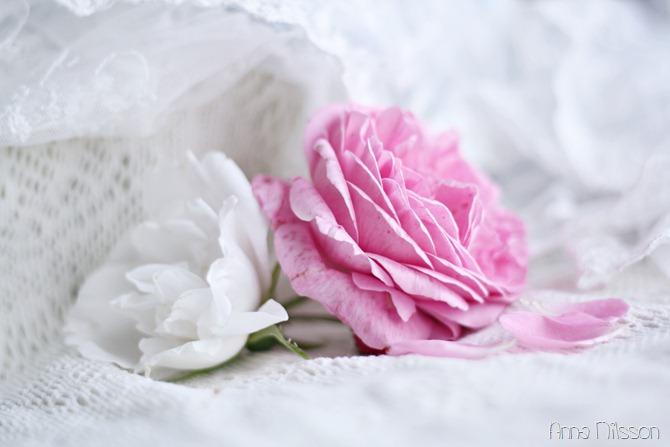 vit och rosa ros