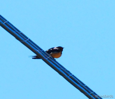 6. barn swallow-kab