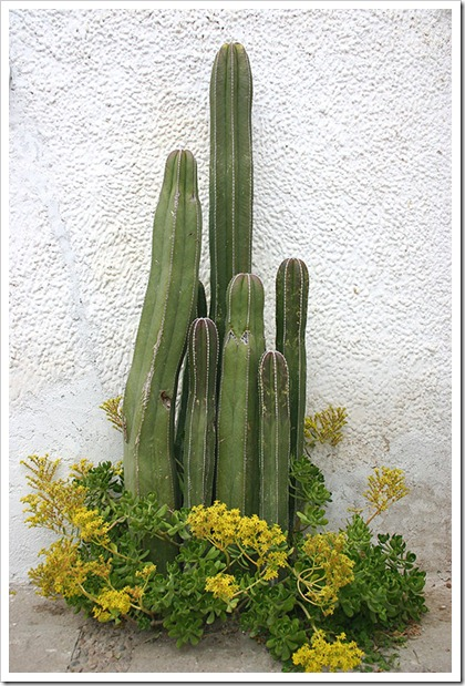 050205_Pachycereus-marginatus_Mineral-de-Pozos