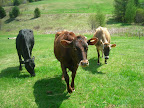 Della, Molly, and Luna- our three milk cows.
