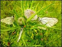 Farfalle Pieride del Biancospino