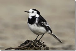 Pied Wagtail-8D3E5647