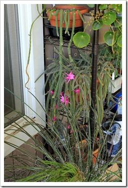 130425_Disocactus-flagelliformis_01