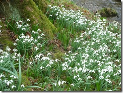 kailzie snowdrops everywhere