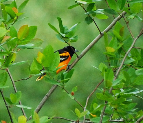 15. oriole-kab