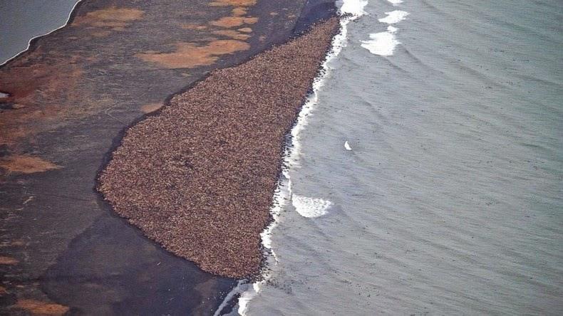 walrus-ashore-alaska-2