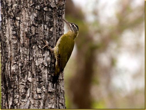 streakthroatedwoodpecker-bandipur
