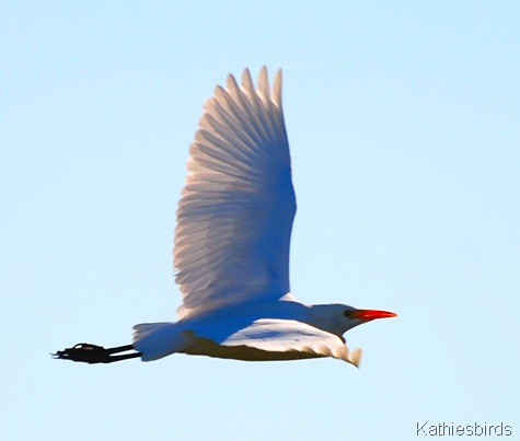 4. cattle egret-kab