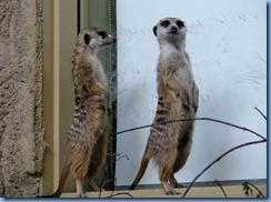 0255 Alberta Calgary - Calgary Zoo Destination Africa - African Savannah - Slender-Tailed Meerkats