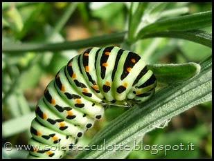 Papilio machaon (Farfalla macaone) - bruco (4)