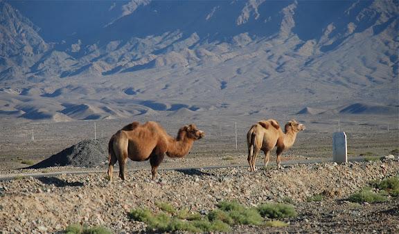 Tianshan - 2 chameaux au bord de la route