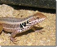 fast lizard