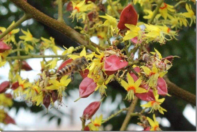 沒在台灣欒樹上看見赤星椿象,但蜜蜂卻受不了花香的誘惑,跑來湊熱鬧。