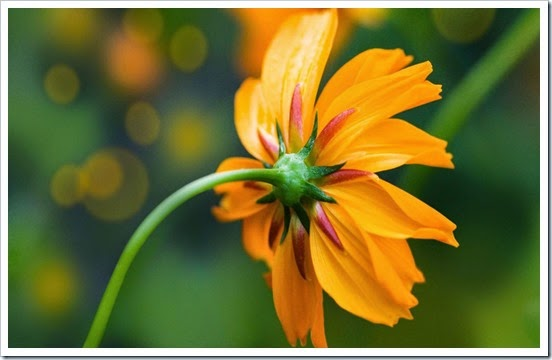 orange_kosmeya_1600x900_85097