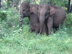 Elephants at Mudumalai Tiger Reserve and Wildlife Sanctuary