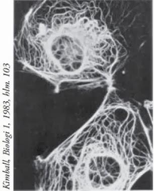 struktur filamen intermediat
