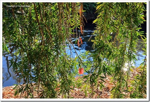 131124_UCD_Arboretum_AustralianCollection_Callistemon viminalis_01