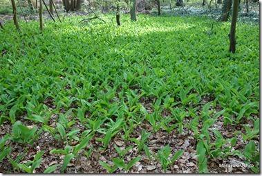 蘭名:Meiklokje 学名:Convallaria keiskei 英名:Lily of valley 和名:スズラン