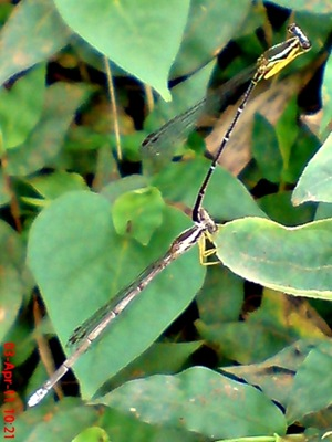 damselfly mating_capung jarum kawin 2