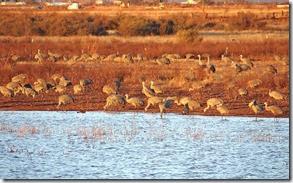 Sand Hill Cranes Wilcox AZ 149