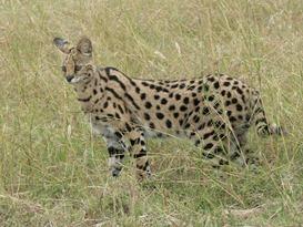 Serval_in_Tanzania