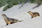 Mama and Sea Lion Pup Walking Down the Sand Dunes - Adelaide, Australia