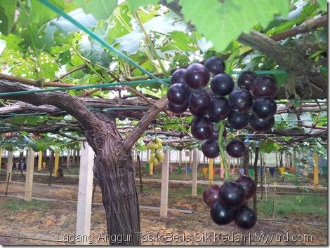 Ladang Anggur Tasik Beris 17
