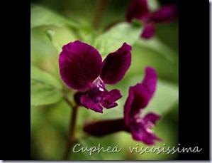 Cuphea-viscosissima2