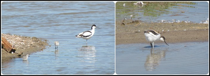 H Avocet Chicks