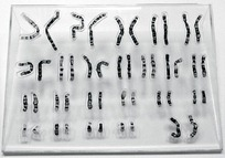 Chromosome puzzle