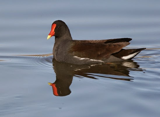 Amazing Pictures of Animals, Photo, Nature, Incredibel, Funny, Zoo, Common Moorhen, Gallinula chloropus, Aves, Alex (27)