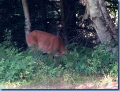 7399 Restoule Provincial Park - deer seen when walking back to campsite