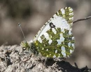 Amazing Pictures of Animals, Photo, Nature, Incredibel, Funny, Zoo, Euchloe tagis, Butterflies, Portuguese Dappled White, Alex (1)