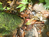 One of the bright red crabs on the slopes of Gunung Ranai (Dan Quinn, September 2013)