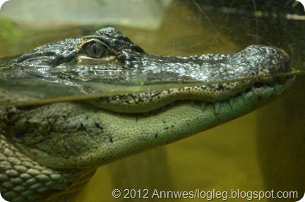 Alligator i Randers regnskov