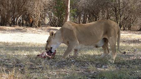 Fauna Africa de Sud: leoaica mancand