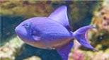 Polynésie baliste bleu