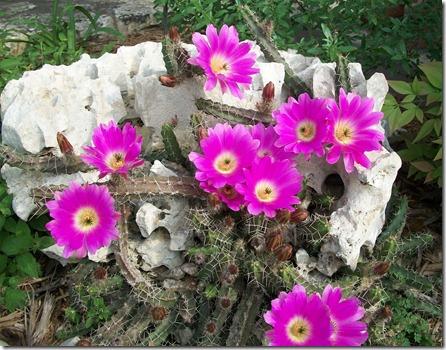 Good Friday Cactus 2012 001