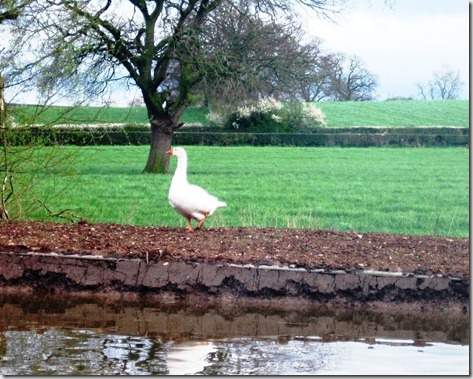 1 canal, goose and hedgerow