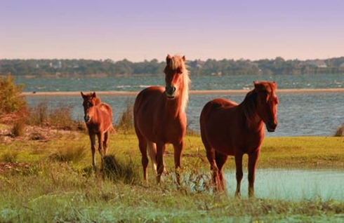 North-Carolina-Cape-Hatteras-National-Seashore-ponies