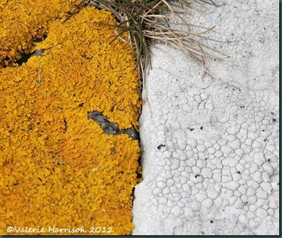 16-lichen