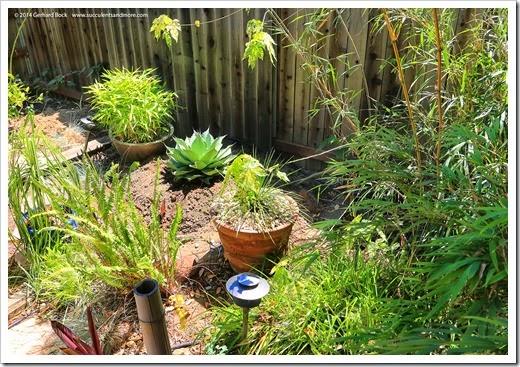 140524_Agave-ovatifolia-Vanzie_016
