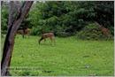 _P6A2077_cheetal_chital_deer_mudumalai_bandipur_sanctuary