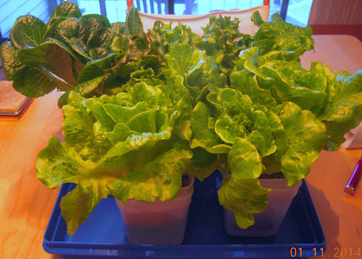9 week splasher and coirstone lettuce, other lettuce splashers behind