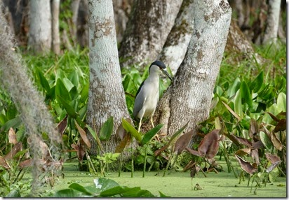silver_springs_black_crown_night_heron