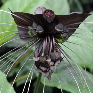 Black bat plant, Tacca chantrieri, is native to Malaysia, India, and East Asia and the flowers resemble a bat in flight.