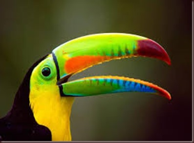 Amazing Pictures of Animals photo Nature exotic funny incredibel Zoo, Ramphastidae, Toucan, Bird, Alex (1)