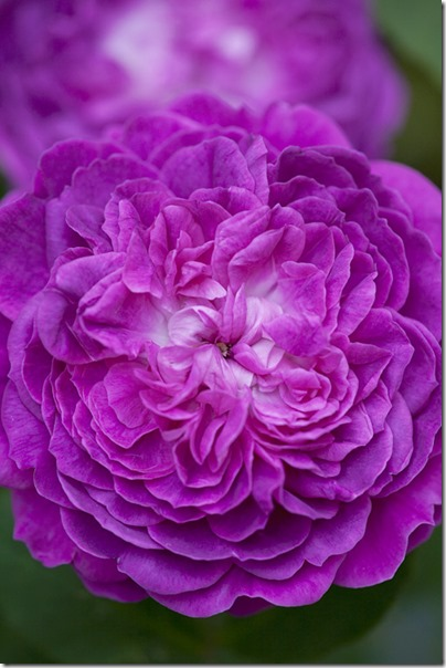 Centifolia Rose09