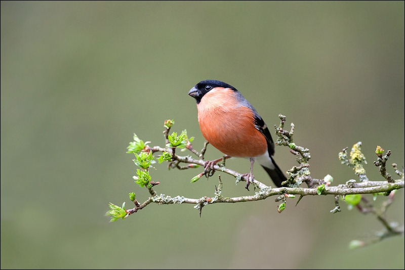 Male Bulfinch